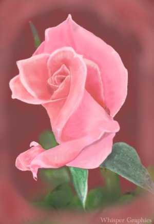 pink_rose_by_whispergraphics.jpg
