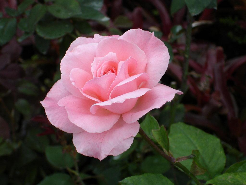 wallpaper_roses-dsc00759.jpg