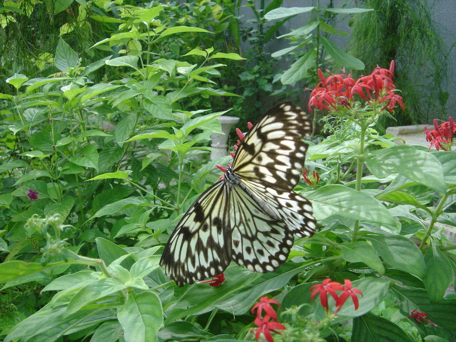 butterflies_wallpaper-dsc01528.jpg