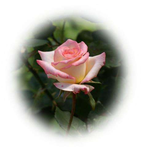white-pink_rose-dsc04767-a1.jpg