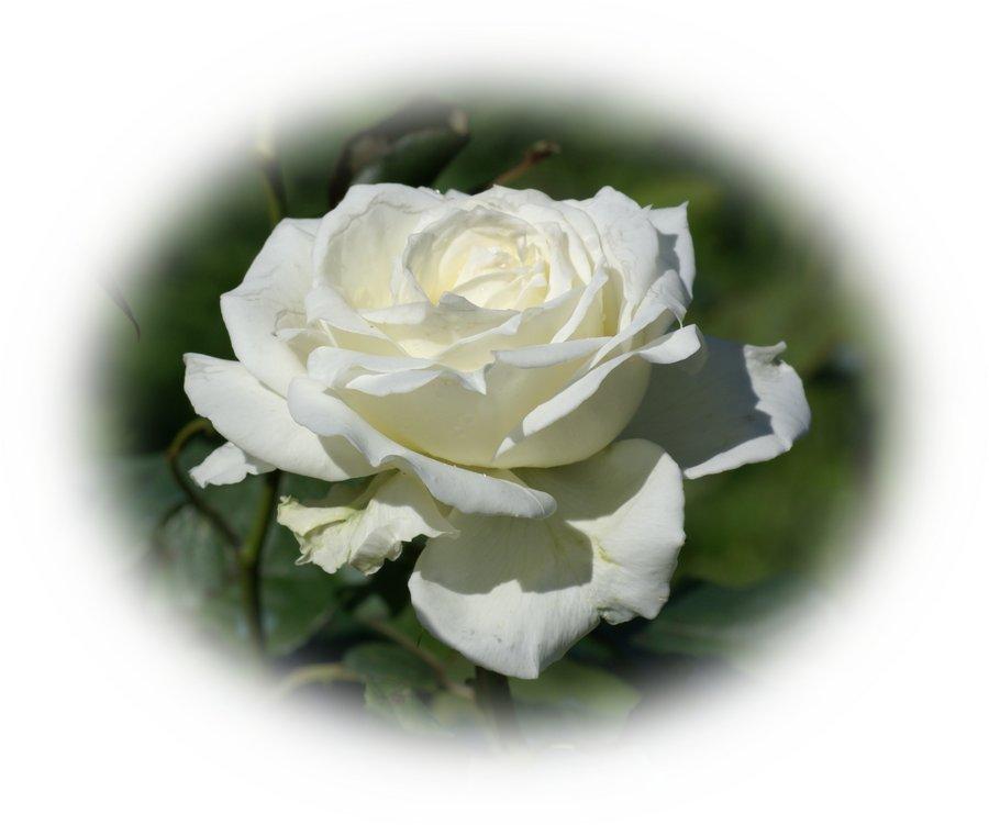 white_rose-dsc01943-a1.jpg
