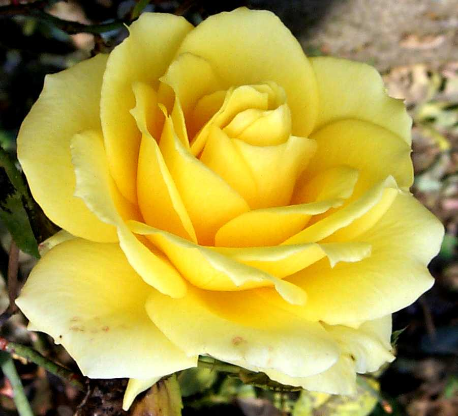 great-yellow-rose-closeup-644.jpg