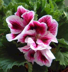 geranium-flower.jpg