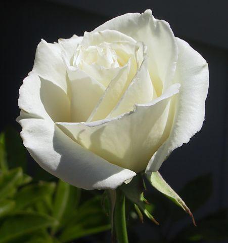 white-rose-2.jpg